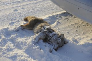 Dead_coyote_close